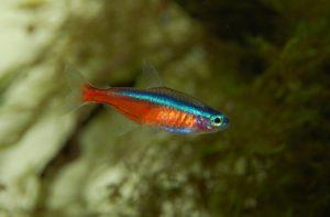 Arten und Gruppen von Süßwasser Zierfischen in der Aquaristik