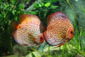 Vergesellschaftung Zierfische: Welche Fische passen zusammen im Gesellschaftsaquarium?