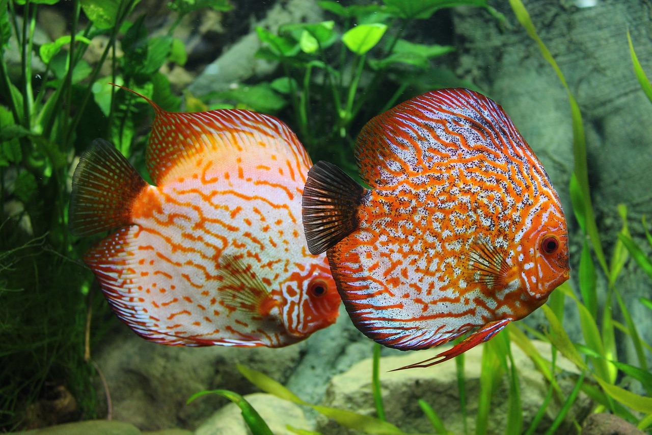 Vergesellschaftung zierfische welche fische passen zusammen for Zierfische im teich