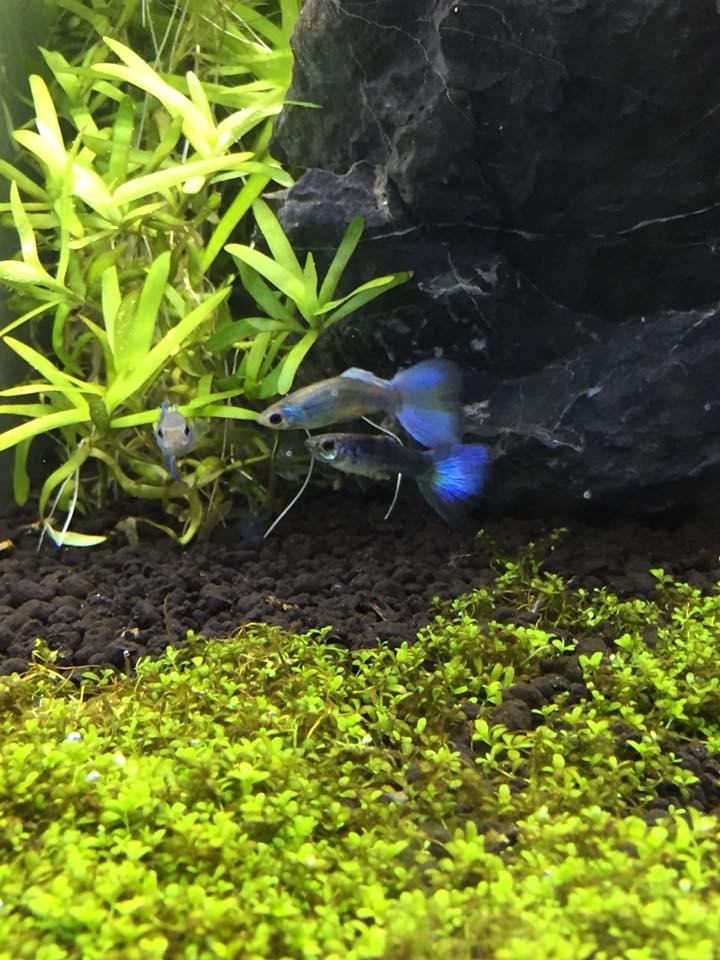 Guppy blau Gruppe