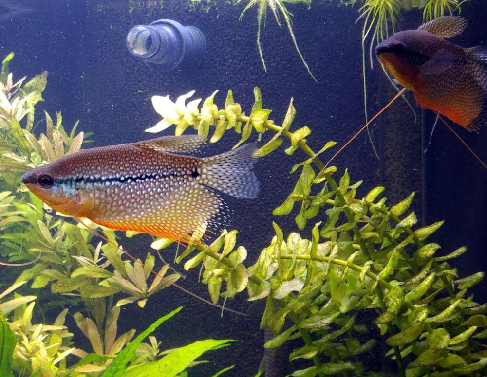 Labyrinthfische