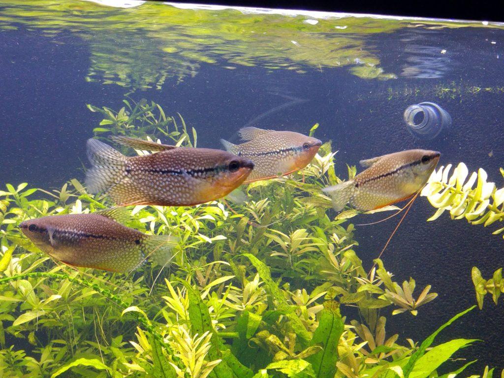 Marmorierter Fadenfisch
