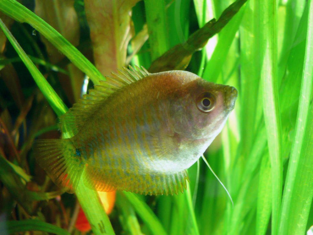 Fadenfisch Zwergfadenfisch