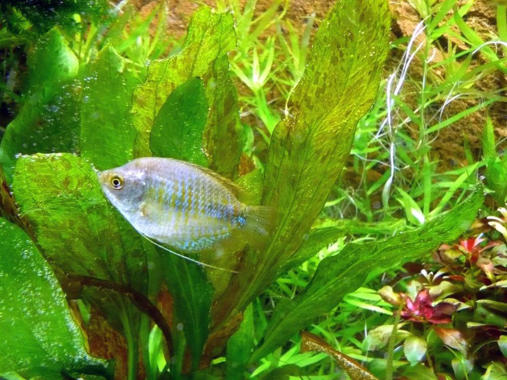 Fadenfisch Gurami