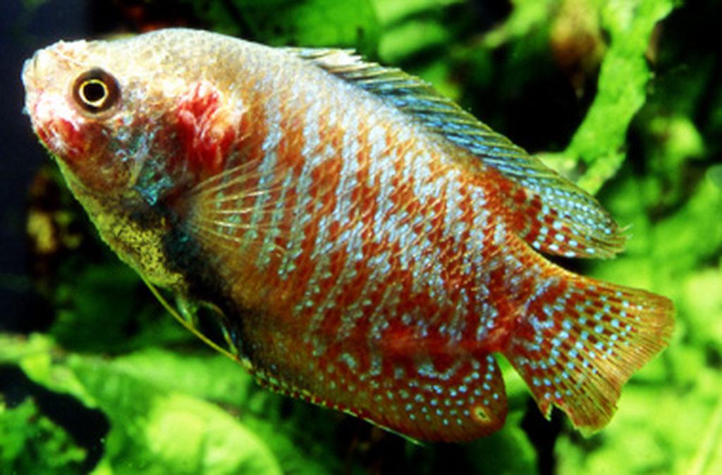 Fischtuperkolose