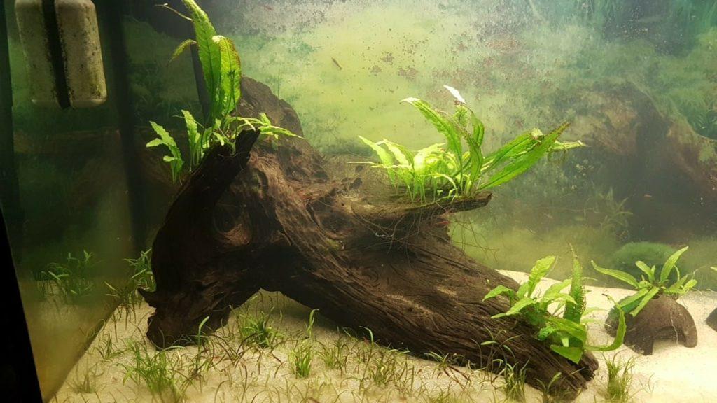 javamoos taxiphyllum barbieri und javafarn im aquarium aquaristik. Black Bedroom Furniture Sets. Home Design Ideas