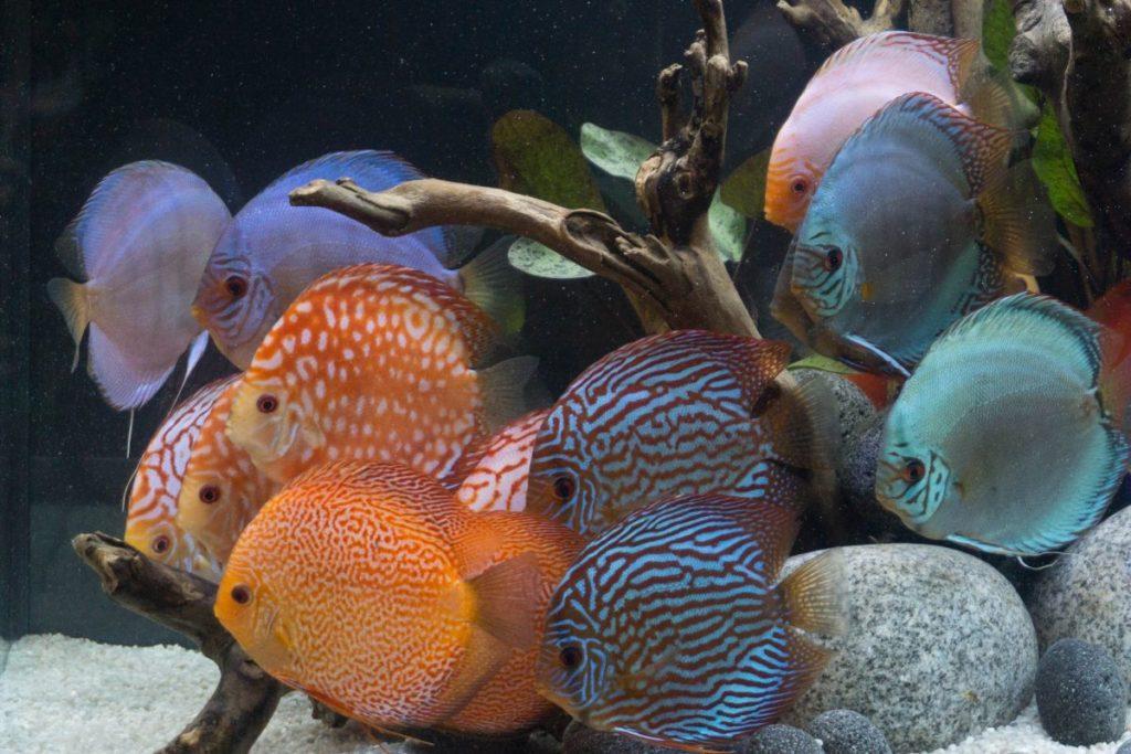 Erwachsene viel Fisch