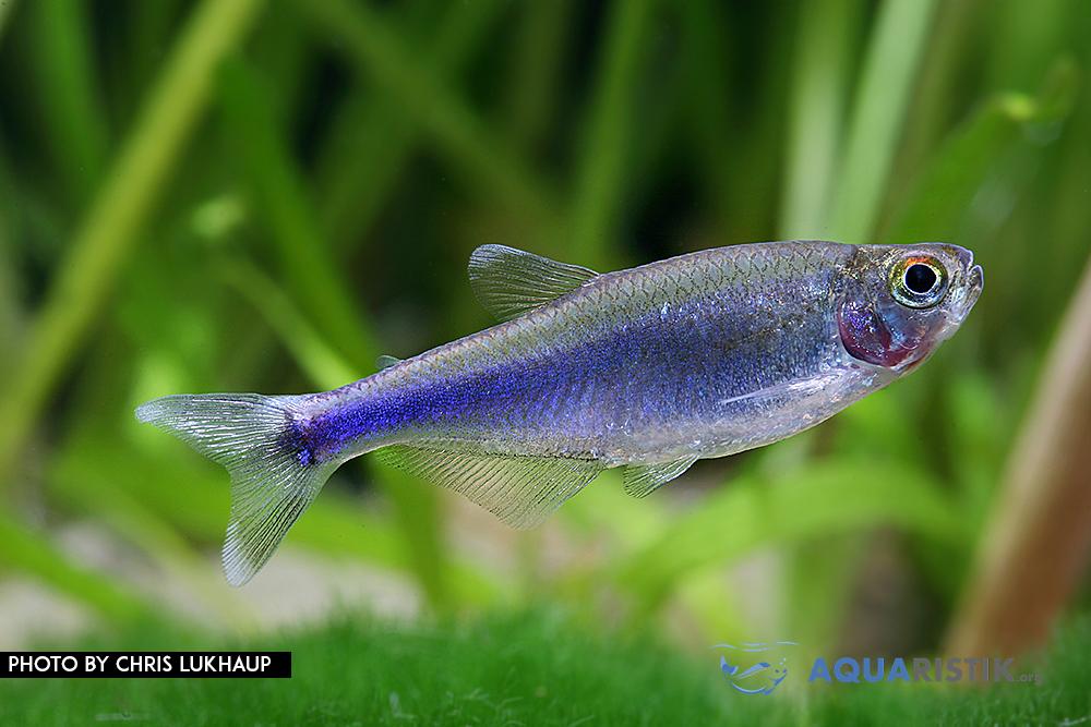 Blauen Perusalmler