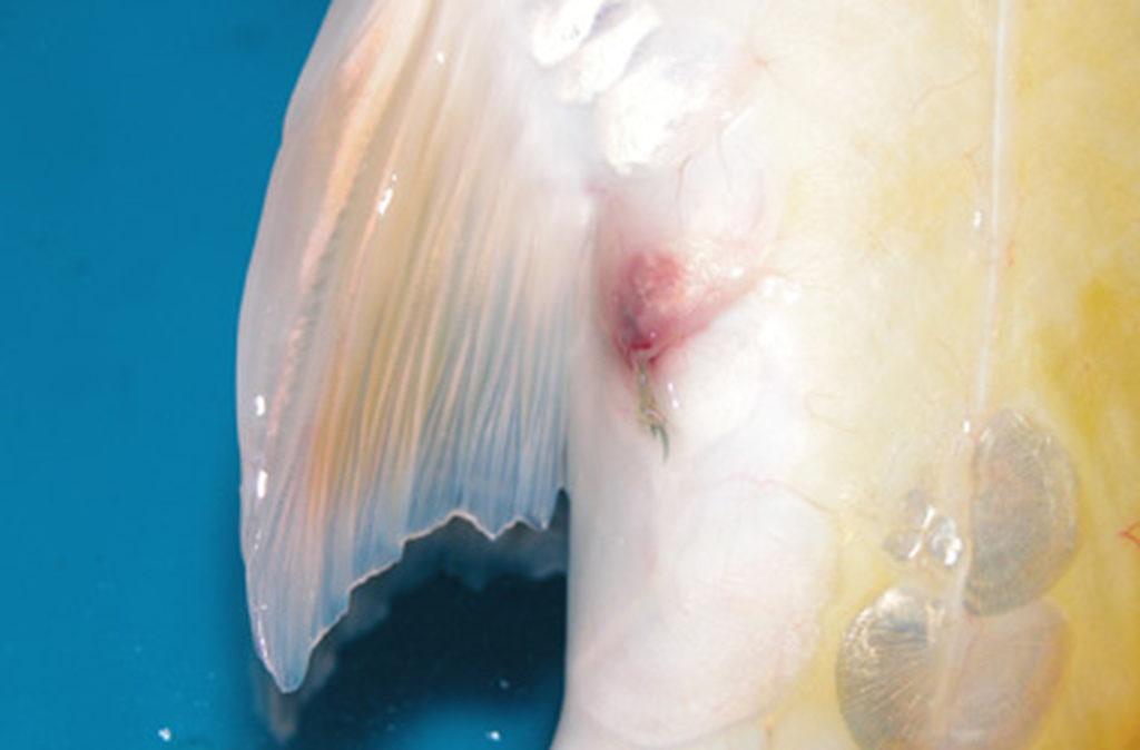 Fräskopfwurm Zierfische