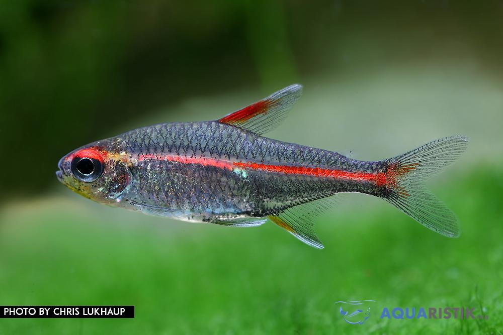 Hemigramus erythrozonus