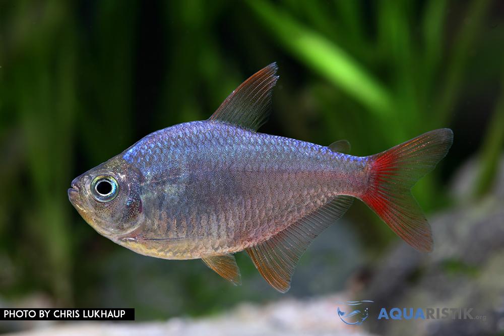 Rotblauer Kolumbianer Hyphessobrycon columbianus