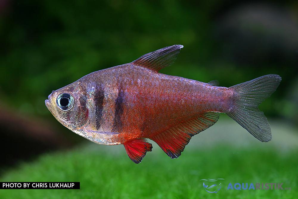 Roter von Rio Hyphessobrycon flammeus