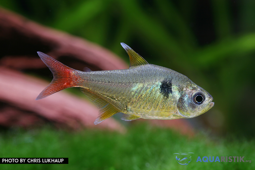 Hyphessobrycon roseus