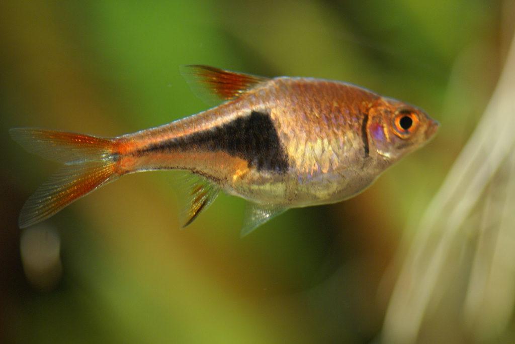 Keilfleckbarbe Aquarium