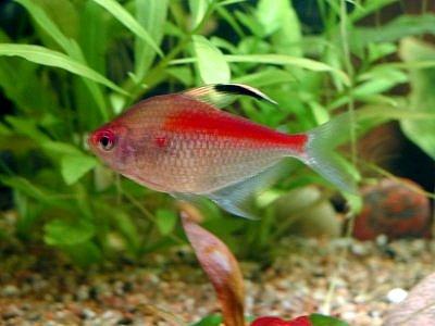 Kirschflecksalmler Aquarium